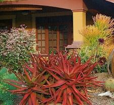 Aloe Cameronii - Red Aloe Vera - Herbal Succulent Plant - 10 Seeds