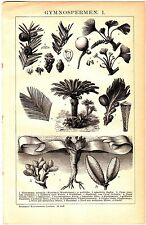 ca 1890 Botanical Tree,Gymnosperms,Pine Trees,Conifers,Cycads,Ginkgo,Welwitschia