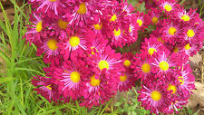 "Chrysanthemum  ""Purple Dance"" x 1 plant. Single spoon."