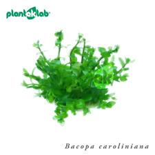 Aquarium plants In-Vitro grown in the UK Bacopa caroliniana (Water Hyssop)