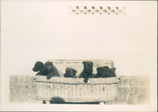 Photograph 1930's  Cute Litter of Puppies in Basket  picture 3