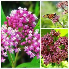 Super Sale Milkweed Pink Comon Perennial save-the-Monarch-butterfly! 3000 seed