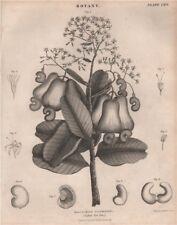 Anacardium occidentale (Cashew Nut Tree). BRITANNICA 1860 old antique print
