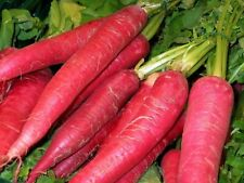 250 Graines de Radis oriental Rose - légumes jardins - méthode BIO