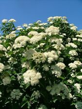 Arrowwood Viburnum Viburnum dentatum 10 Seeds (Free Us Shipping)