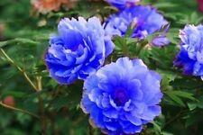 Blue Flower China's Peony Seeds Paeonia suffruticosa Tree DIY Garden