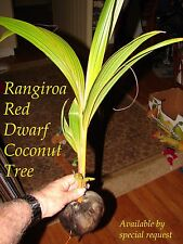 RARE DWARF COCONUT TREE ~RED TAHITI RANGIROA~ 12-36+inch Ready to PLANT!