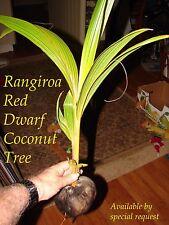 ~RED TAHITI RANGIROA~ RARE DWARF COCONUT 2-3+ft TREE Ready to PLANT! FREE SHIP