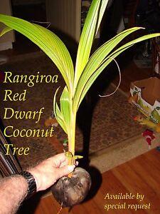 ~RED TAHITI RANGIROA~ RARE DWARF COCONUT TREE 12-36+inch Ready to PLANT!