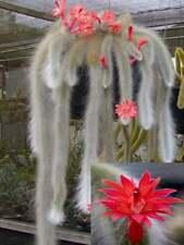 100 Cleistocactus Plants Seeds Hildewintera Monkey Tail Rare Cactus for Garden