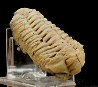 Trilobiten - Natural Flexicalymene sp.Trilobite Fossil Marokko Devonian Era