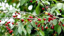 Wild Cherry Tree🍒Prunus avium🍒5-Seeds🍒Ornamental-Native🍒broad-leaf woodland