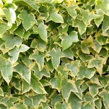 Common Ivy - English Ivy - Hedera helix - 25+ seeds - Heirloom Evergreen!