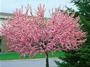 Mandelbaum, Prunus triloba, rosa Blüte, Höhe: 150-160 cm + Dünger