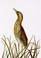 Bittern Bird Watercolour Painting Signed Limited Edition A4 Print