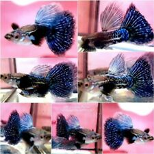 1 TRio - Live Guppy Fish High Quality - Blue Dragon BDS- USA Seller