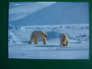 SVALBARD NORWAY POSTCARD (circulated) POLAR BEARS