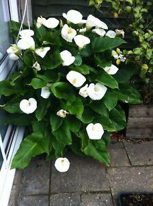 Arum Lily Zantedeschia Aethiopica 2 established plants