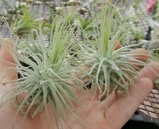 Large Bromeliad tropical air plant tillandsia magnusiana fuzzy airplant