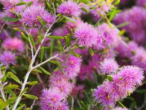 Melaleuca pentagona var pentagona in 75mm Supergro tube Sun Hardy Native plant