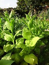 Tabaksamen 5 x 1000 Echter Rauchtabak 5 Sorten Tabakpflanze Tobacco Seeds 2018
