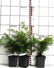 Tsuga canadensis/canadese hemlocktanne-pianta -