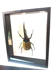 Collectible Taxidermy Real 1 Dynastes hercules in Wood Frame