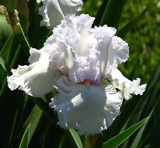 "TALL BEARDED IRIS GERMANICA ""QUEEN OF ANGELS"" Delivery August/September"