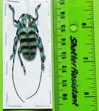 Lot of 10 Blue & Black Long-horn Beetle Anoplophora medembachi Male Fast Usa