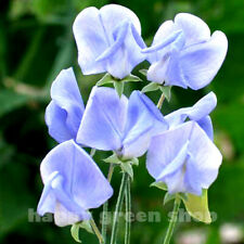 SWEET PEA - OLD SPICE - LIGHT BLUE - 35 SEEDS - Lathyrus - Scented flower seeds