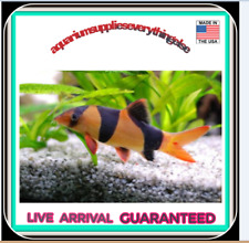 Clown Loach Live Aquarium Fish Tank Raised