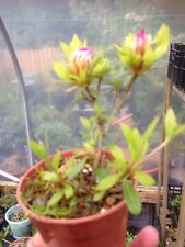 Bonsai Starter Plant Satsuki Azalea 🌺 Flowering Tree Garden RARE