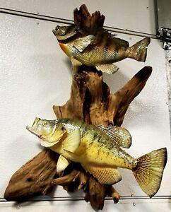 Crappie & Bluegill professional skin fish taxidermy  mount.Cabin & Lodge decor.