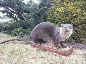 """River Otter Life-Size, """"Taxidermy"""" and """"Cabin Decor"""""""
