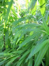 Drachenweide Sekka - Salix sachalinensis Sekka