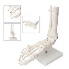 Pvc Skeleton Model Life Size Human Foot Joint Anatomical For Medical Teaching