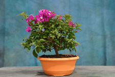 Awesome 'Purple' Bougainvillea Pre-Bonsai! Blooms Summer - Fall!