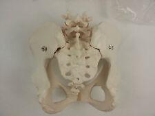 "3B Scientific A61 Female Pelvic Skeleton Model, 7.5"" x 9.8"" x 9.4"""