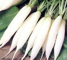 1250 WHITE ICICLE RADISH Raphanus Sativus Seeds *CombSH