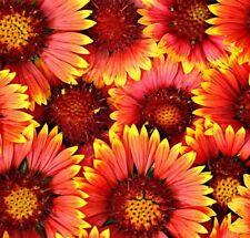 ☺20 graines de tournesol autumn beauty