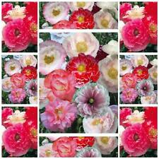 Poppy shirley double mixed 1500 seeds stunning flowers