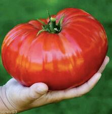 Free Shipping Free Tomato ribbed Florentine 50 Seeds