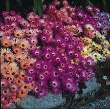 Flor-mesembryanthemum Alfombra Mágica mixto 2000 Semillas