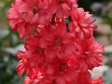 50+ SCARLET RED DELPHINIUM FLOWER SEEDS / LARKSPUR / PERENNIAL / DEER RESISTANT