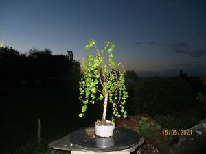 Outdoor Pre Bonsai Birke Yamadori Höhe 50 cm nur Baum.