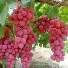 13 Pcs Giant Red Globe Grape Vitis Fruit Vine Plant Seeds Free Delivery Hot