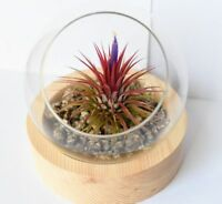 tillandsia plant gift,glass ball with wood holder as one set,USA free ship