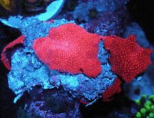 Strawberry Red Zoa Zoanthid Bounce Mushroom Live Coral Lps Aquarium Reef Tank