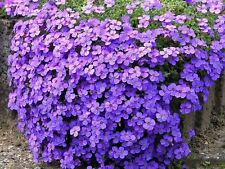 6 Large flowering Aubretia Audrey Purple shades perennial Plug Plants