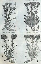 Helichrysum Stoechas Botánica Matthioli Mattioli Matthiole Dioscorides